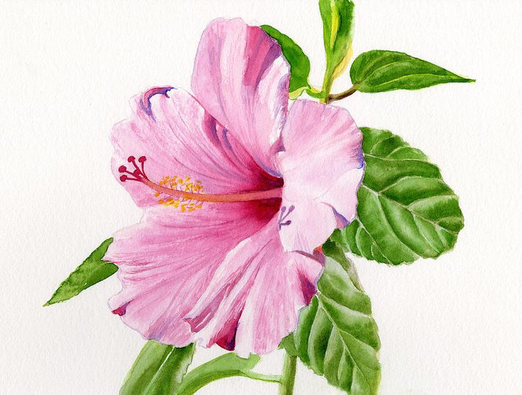 pink-hibiscus-flower