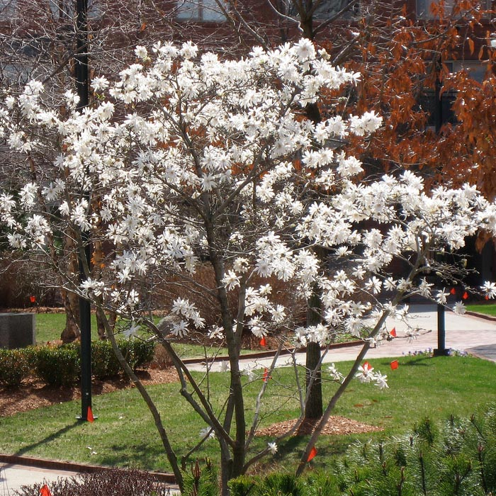 star-magnolia-bush