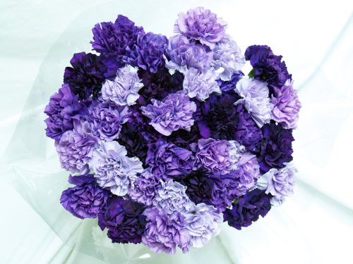 140 Fresh Cut Mixed Purple Carnations Advance Ordering