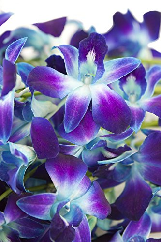 Fresh Cut Flowers – Dendrobium Orchids Bom Tinted Blue (Free Ribbon)