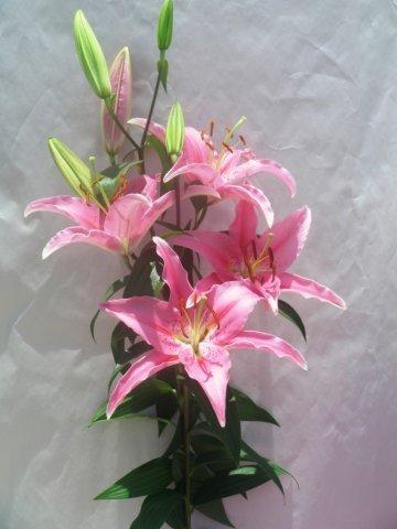Light Pink Oriental Lilies 20 Stems