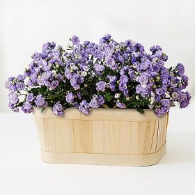 Joy N Joy Flowers Canterbury Bells Garden – Theshopstation Online Fresh Flowers Plants – Wedding Flowers – Birthday Flowers – Send Flowers – Flower Arrangements – Floral Arrangements – Plants Bouquets