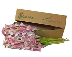 Light Pink Mini Calla Lilies 100 Stems, Callafornia Callas