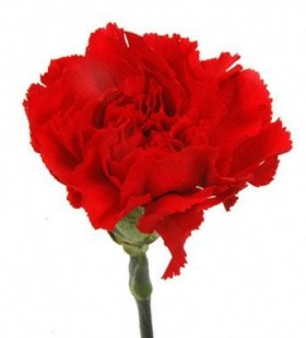 Cut Flowers – Red Carnations
