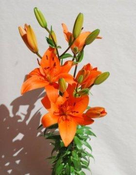 Orange Asiatic Lilies 40 Stems