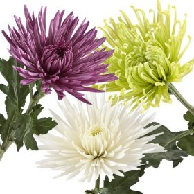 Wholesale Fresh Cut Spider Mums (Chrysanthemum) from the Farm (100 Assorted)
