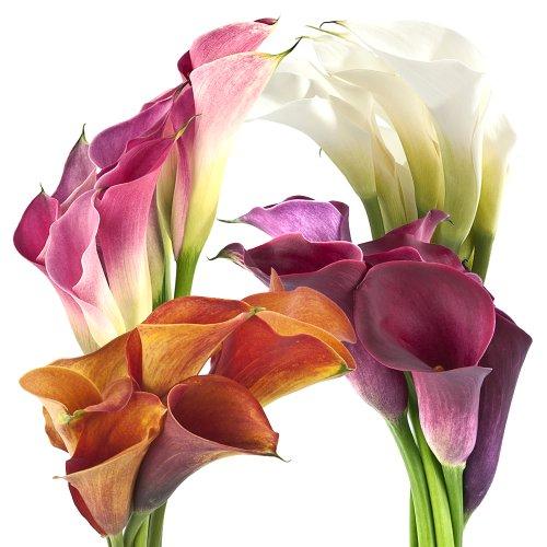 Wholesale Assorted Mini Calla Lilies (120 Assorted)