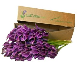 Purple Mini Calla Lilies 100 Stems, Callafornia Callas