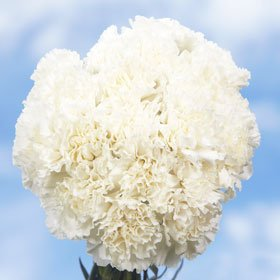 Best White Carnations | 100 White Carnations