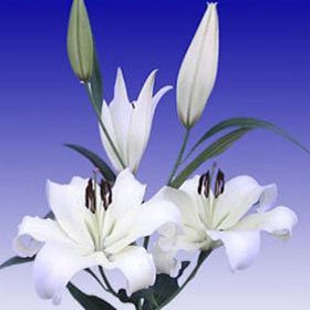 Asiatic Lilies White 20 Flowers