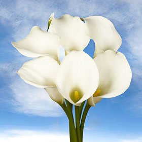 Best White Open Cut Calla Lilies | Calla Open Cut White 36 Flowers