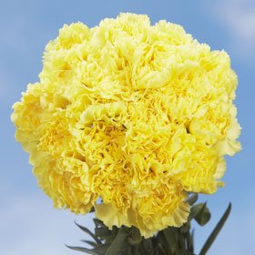 200 Carnations Yellow