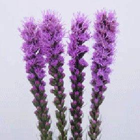 Liatris 60 Flowers Wholesale