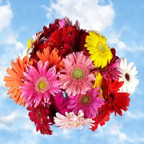 Premium Assorted Gerbera Flowers | 120 Gerberas Flowers Assorted Colors