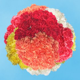 Wholesale Color Carnations | 350 Assorted Color Carnations