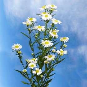 Buy White Aster Flowers | Aster White 10 Bunches