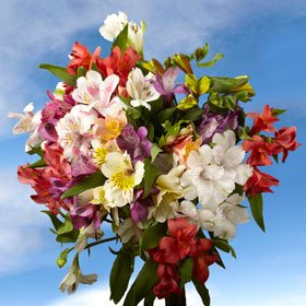 Beautiful Assorted Select Alstroemeria Flowers | 80 Alstroemeria Select