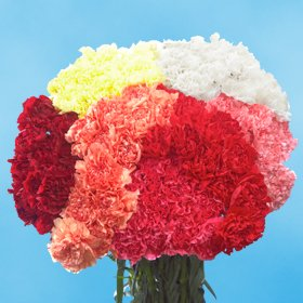 Carnations 200 Assorted Color Carnations Wholesale