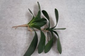 Silk Phalaepnosis Orchid Leaves