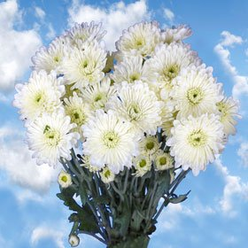 Beautiful White Chrysanthemum Cushion Flowers | 144 Pom Poms White Cushion
