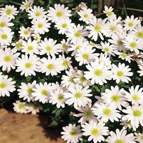 Anemone blanda White Splendour – 10 flower bulbs