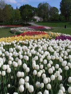 Tulips at Major's Hill Park Ottawa