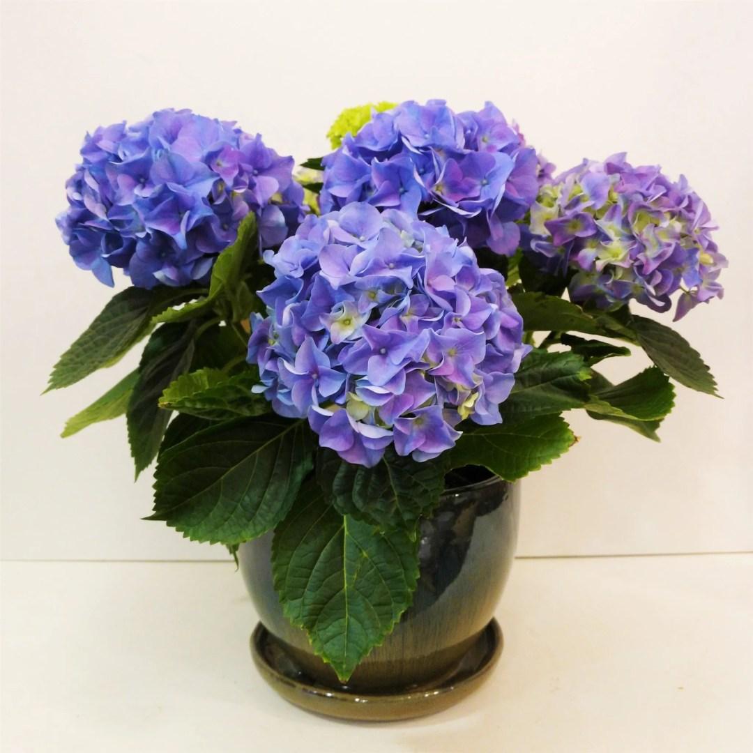 Blue hydrangea plant