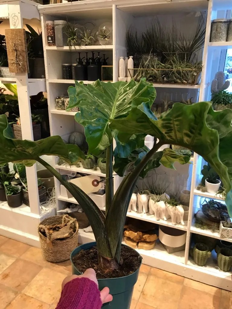 New green plant with large wavy edged leaves.