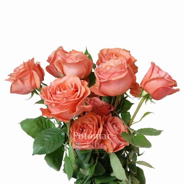 Garden Rose Coral Expression Double Heart  Potomac Floral Wholesale
