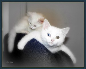 Bohu & Tohu (son's cats) by Gattou Lucie via Flickr
