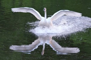Reflecting on swans by pmarkham via Flickr