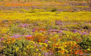 When the Desert flowers by Martin_Heigan via Flickr