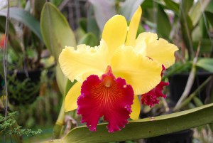 Yellow and red orchids - Bai Orchid Farm by avlxyz via Flickr