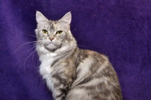 Stasia – CH CINDERELLA Fluffy Coons * PL