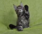 Kocięta   Maine Coon   Kittens   Fluffy Coons *PL
