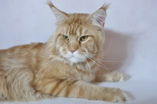 Maine CoonMaine Coon
