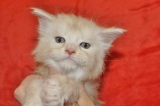 Gucio | maine coon | kitten