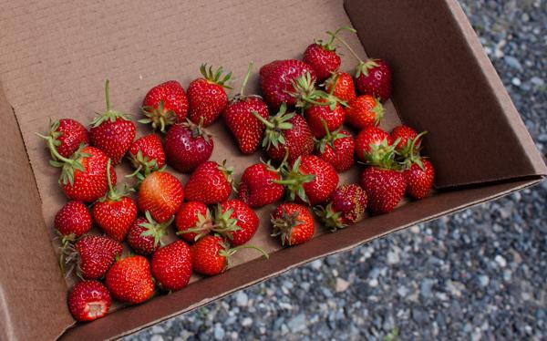 my haul of freshly picked strawberries