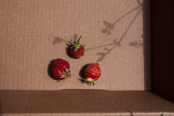 tiny strawberries in a box