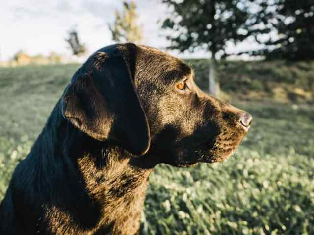 rasseportrait-labrador-retriever