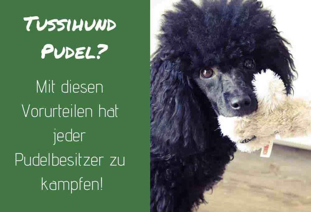 pudel-vorurteile-tussi-hund
