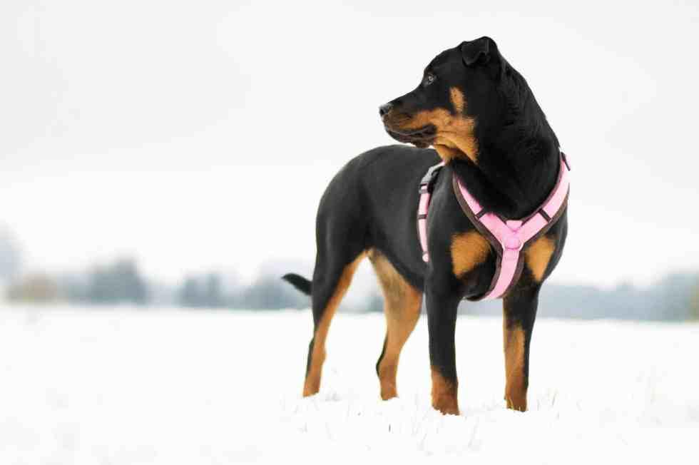 hundeblog-rasse-rottweiler-portrait