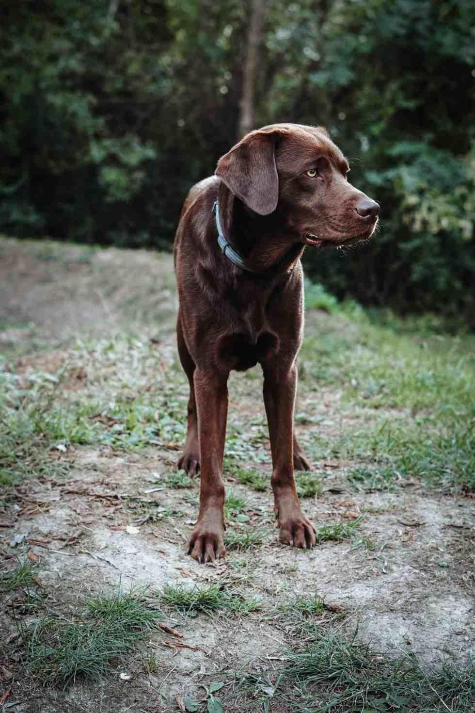 hundepfeife-konditionieren-labrador-rueckruf-stopp-tipps-anleitung