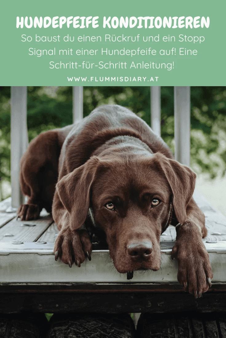 ➡️ Hundepfeife konditionieren: Anleitung Stopp & Rückruf