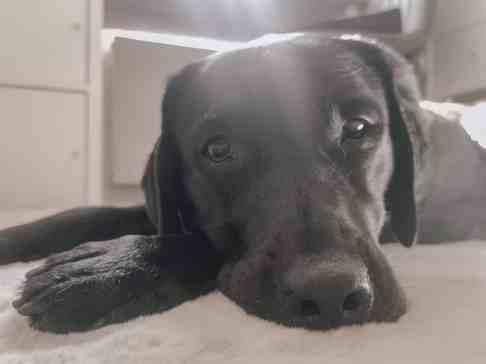 arbeitszimmer-mit-hund-home-office-hunde-officedog