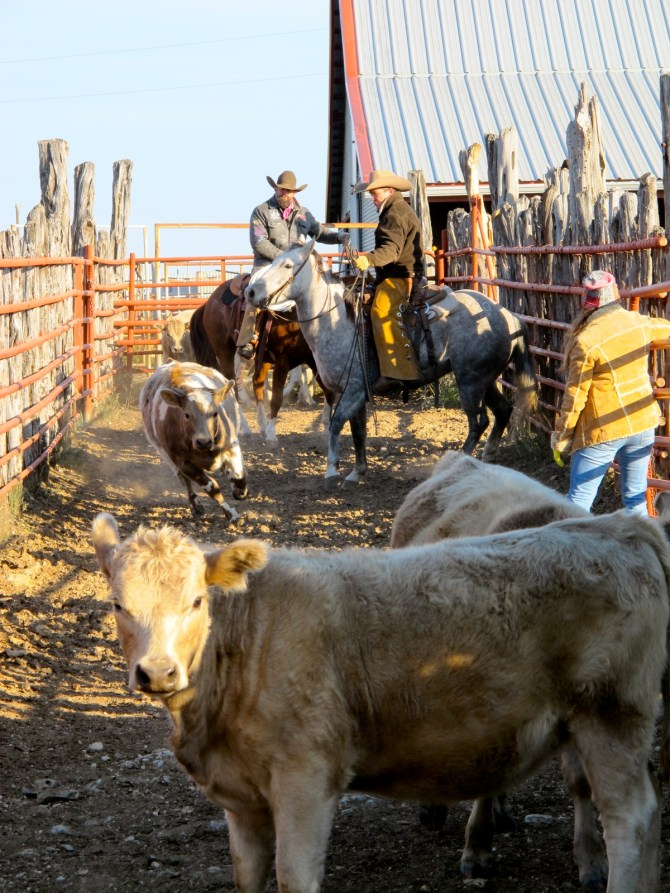 Shipping Day At The Ranch Step One – Separating The Cattle