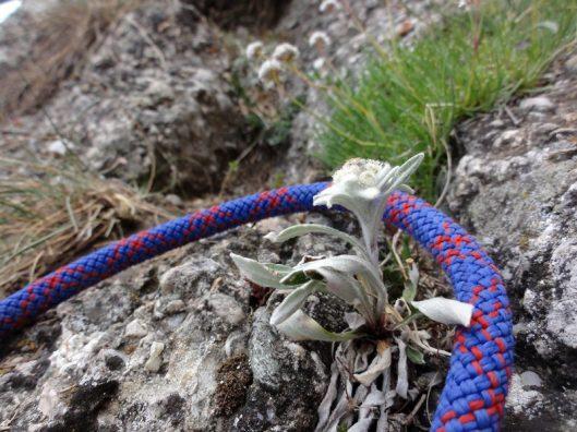 alpinism romania, flora montana