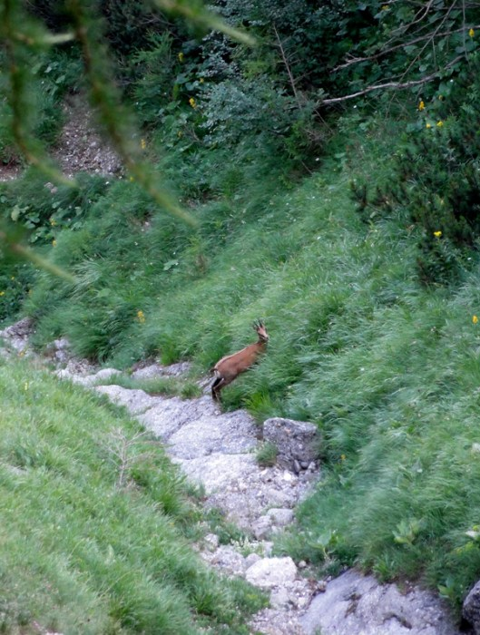 fauna montana