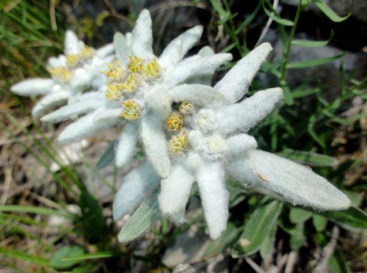 floare de colt_piatra craiului