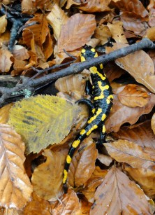 soparla salamandra prahova_bucegi